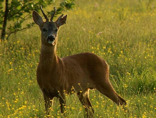 С 15 мая в Беларуси открылась охота на взрослых самцов косули