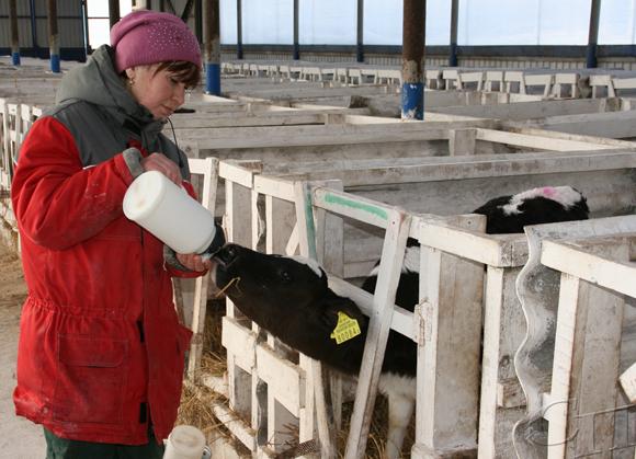 Хорошие результаты по производству говядины у фермы «В. Раевка» филиала «Великая Раевка» ОАО «Криница»