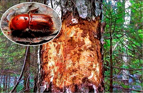 В последнее время жители Копыльщины наблюдают рыжеющие с невероятной скоростью сосняки в лесных массивах