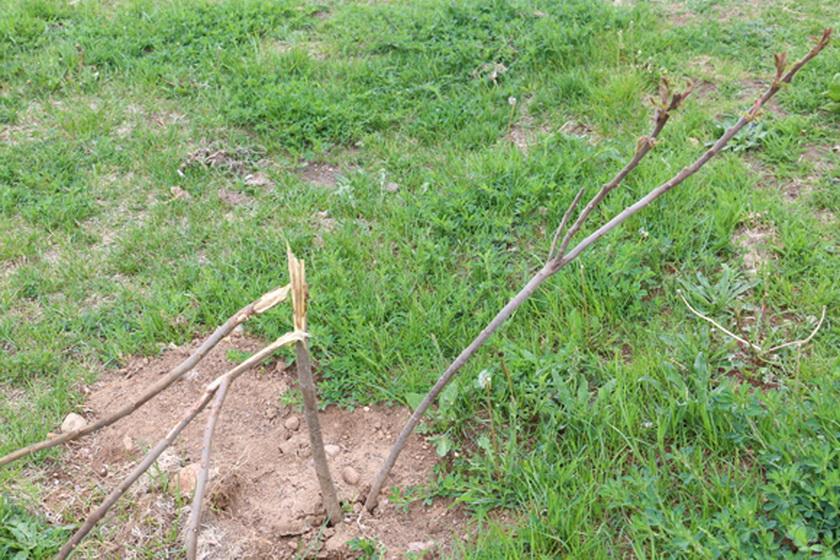 В Копыле на придомовой территории по улице Тимковичской кем-то повреждены саженцы деревьев